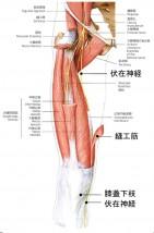 膝の痛み② -神経編:伏在神経の痛み-